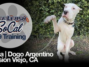 Koda | Dogo Argentino | Mission Viejo, CA