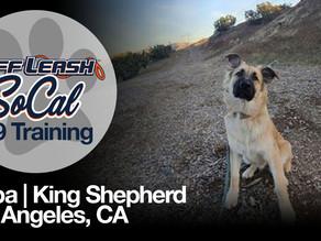 Kaiba | King Shepherd | Pasadena, CA