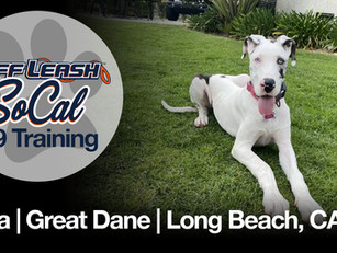 Luna | Great Dane | Long Beach, CA