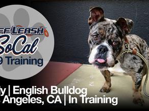 Lady   English Bulldog   Los Angeles, CA