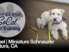 Mabel   Miniature Schnauzer   Ventura, CA