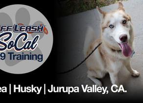 Thea | Husky | Jurupa Valley, CA.