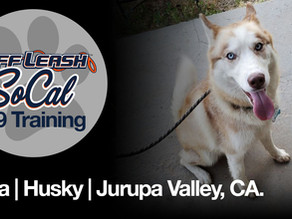 Thea   Husky   Jurupa Valley, CA.