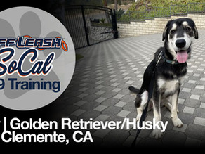 Indy | Golden Retriever/Husky | San Clemente, CA | In-Training