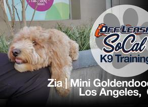 Zia | Mini Goldendoodle | Los Angeles,CA