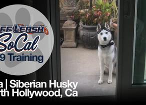 Lola   Siberian Husky   North Hollywood, Ca
