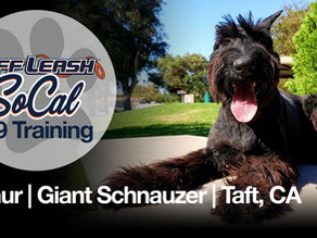 Arthur | Giant Schnauzer | Taft, CA