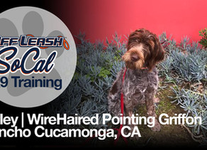 Finley | WireHaired Pointing Griffon | Rancho Cucamonga CA