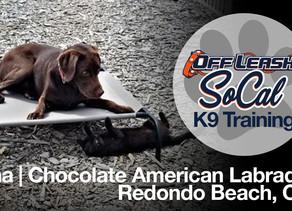 Luna | Chocolate American Labrador | Redondo Beach, CA