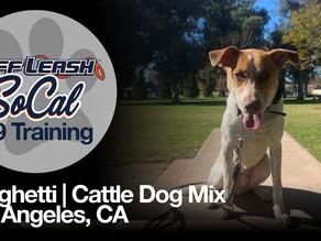 Spaghetti | Cattle Dog Mix | Los Angeles, CA