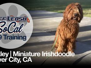 Oakley | Miniature Irishdoodle | Culver City, CA