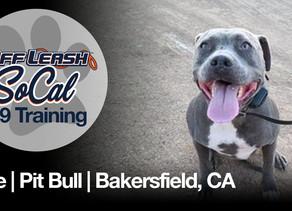 Blue | Pit Bull | Bakersfield, CA