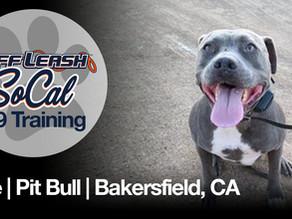 Blue   Pit Bull   Bakersfield, CA