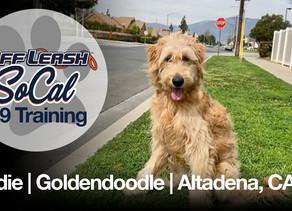 Sadie | Goldendoodle | Altadena, CA