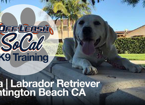 Lola | Labrador Retriever | Huntington Beach CA