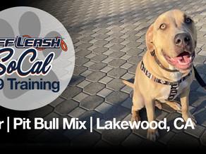 Thor | Pit Bull Mix | Lakewood, CA