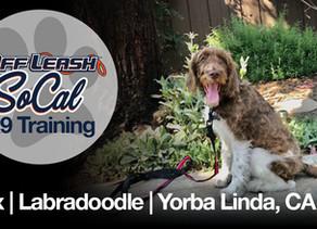Jax | Labradoodle | Yorba Linda, CA