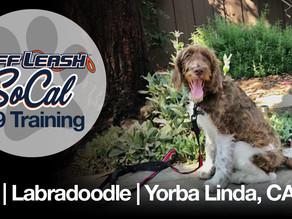 Jax   Labradoodle   Yorba Linda, CA