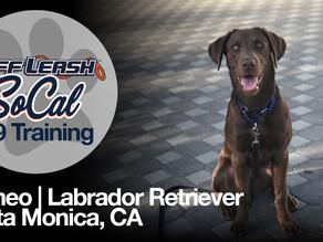 Romeo | Labrador Retriever | Santa Monica, CA