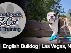 Ava | English Bulldog | Las Vegas, NV