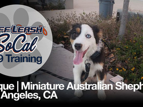 Unique | Miniature Australian Shepherd | Los Angeles, CA