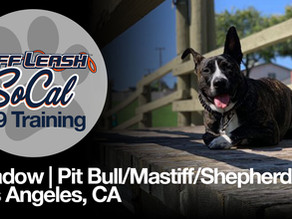Shadow | Pit Bull/Mastiff/Shepherd | Los Angeles, CA