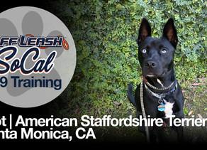 Riot | American Staffordshire Terrier Mix | Santa Monica, CA