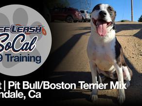 Bolt   Pit Bull/Boston Terrier Mix   Glendale, Ca