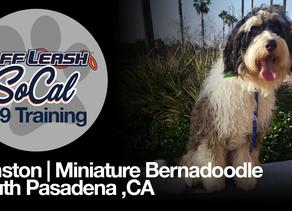 Winston   Miniature Bernedoodle   South Pasadena ,CA