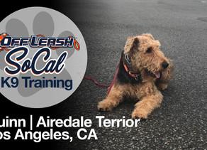 Quinn | Airedale Terrier | Los Angeles, CA