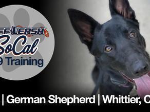 Gigi   German Shepherd   Whittier, CA