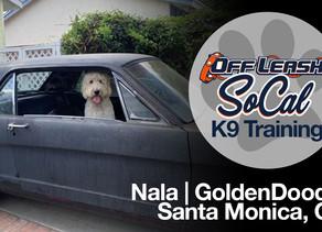 Nala | GoldenDoodle | Santa Monica, CA