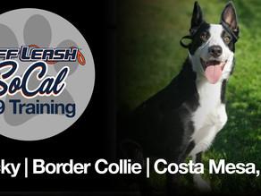 Lucky | Border Collie | Costa Mesa, CA