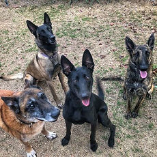 2- Niko _ 9mo Dutch Shepherd _ Costa Mes
