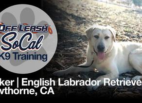 Parker | English Labrador Retriever | Hawthorne, CA
