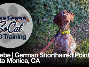 Phoebe | German Shorthaired Pointer | Santa Monica, CA