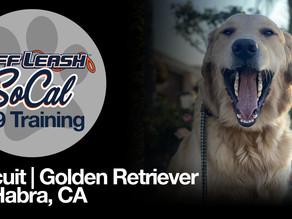 Biscuit | Golden Retriever |  La Habra, CA
