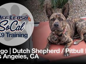 Ringo | Dutch Shepherd / Pitbull Mix | Los Angeles, CA