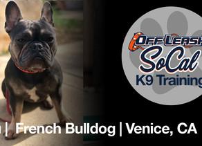 Lou | French Bulldog | Venice, CA