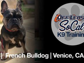 Lou   French Bulldog   Venice, CA