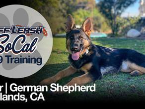 Bear | German Shepherd | Redlands, CA