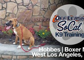 Hobbes | Boxer/Pit Mix | West Los Angeles, CA