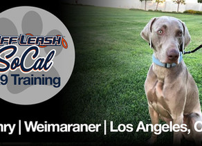 Henry   Weimaraner   Los Angeles, CA