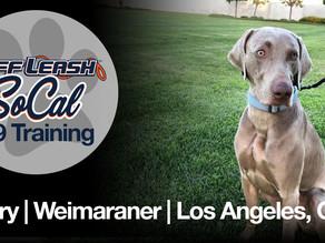Henry | Weimaraner | Los Angeles, CA