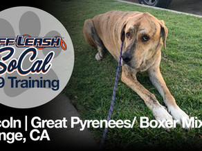 Lincoln | Great Pyrenees/ Boxer Mix | Orange, CA