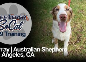 Murray | Australian Shepherd | Los Angeles, CA