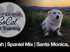 Noah| Spaniel Mix | Santa Monica, Ca