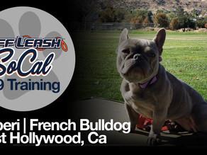 Bluberi | French Bulldog | West Hollywood, CA