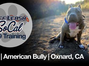 Oso | American Bully | Oxnard, CA