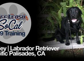 Ripley | Labrador Retriever | Pacific Palisades, CA
